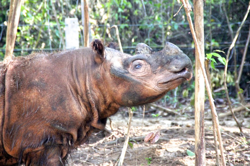 Harapan the rhino, one month after his transfer to the Sumatran Rhino Sanctuary in Indonesia. Photo by Ridzki R. Sigit