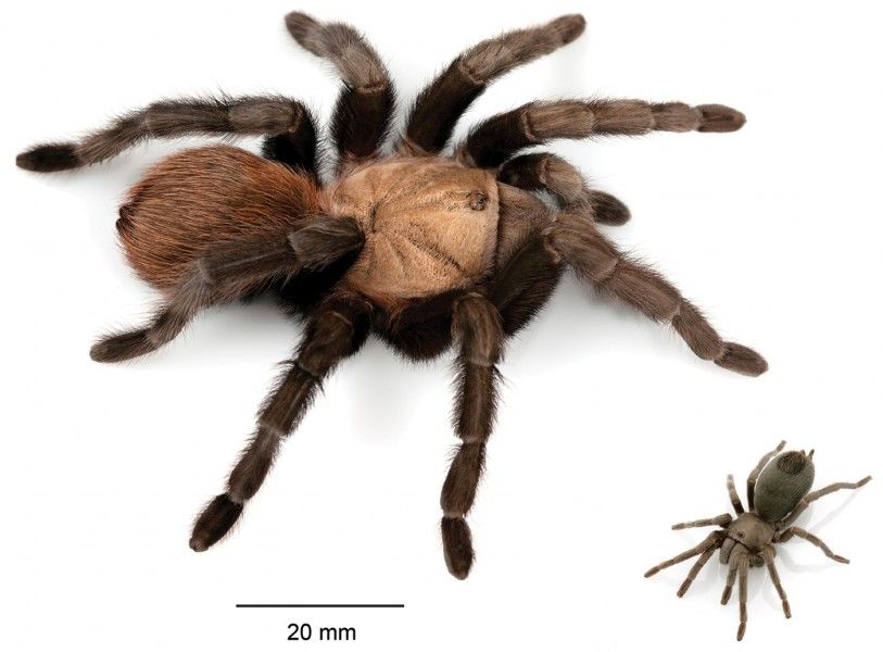 A generalized comparison of the largest species in the United States, an adult female Aphonopelma anax, and the smallest species in the United States, an adult female A. paloma.