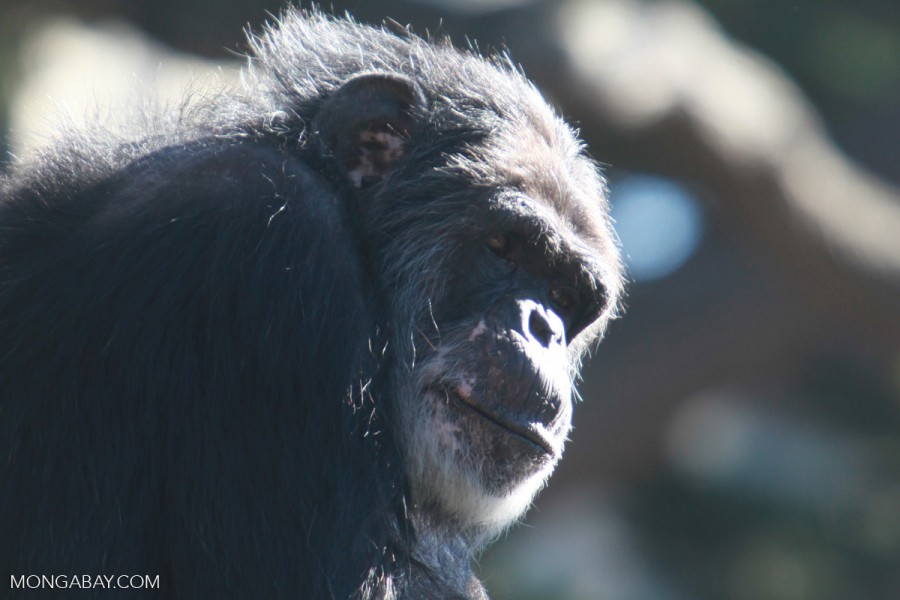 In the book, Peterson and Ammann come across chimpanzees killed for meet, as well as chimpanzees orphaned as result of bushmeat hunting. Photo by Rhett Butler.