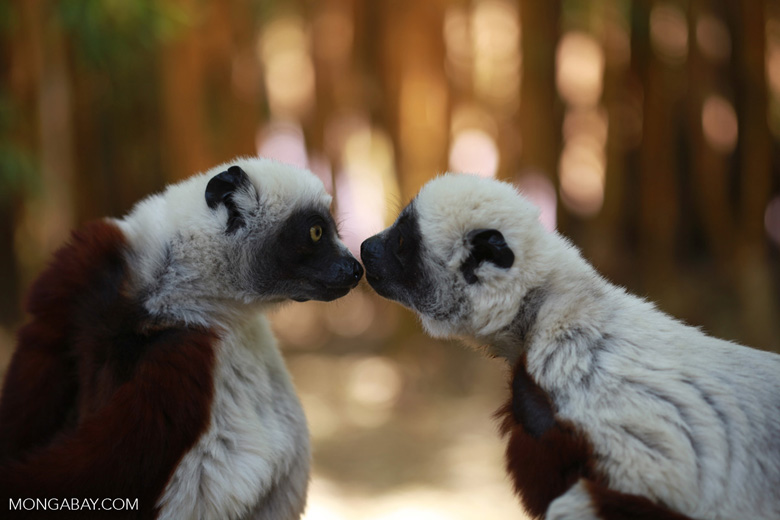 Coquerel's sifakas lemurs kissing. Photo by Rhett Butler.