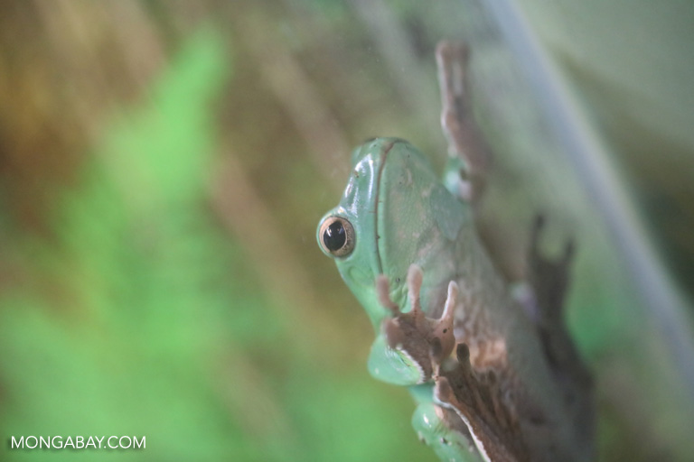 Chinese gliding frog (Rhacophorus dennysi), photo by Rhett Butler.