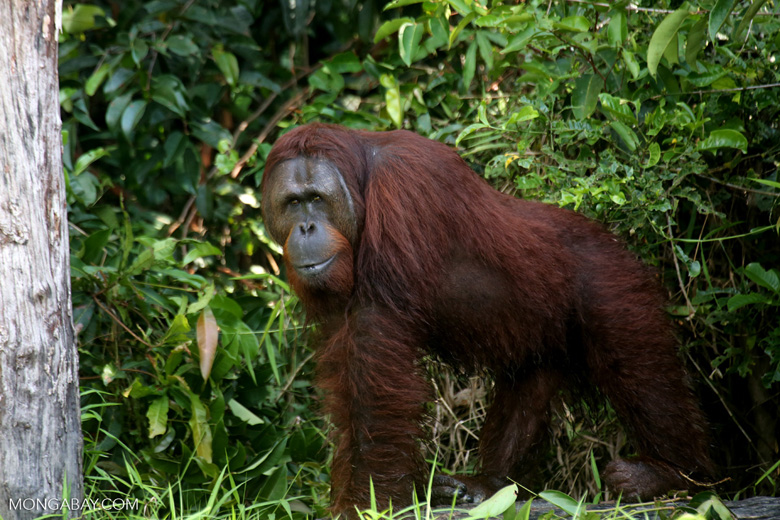 An orangutan in Indonesian Borneo, Photo by Rhett A. Butler.