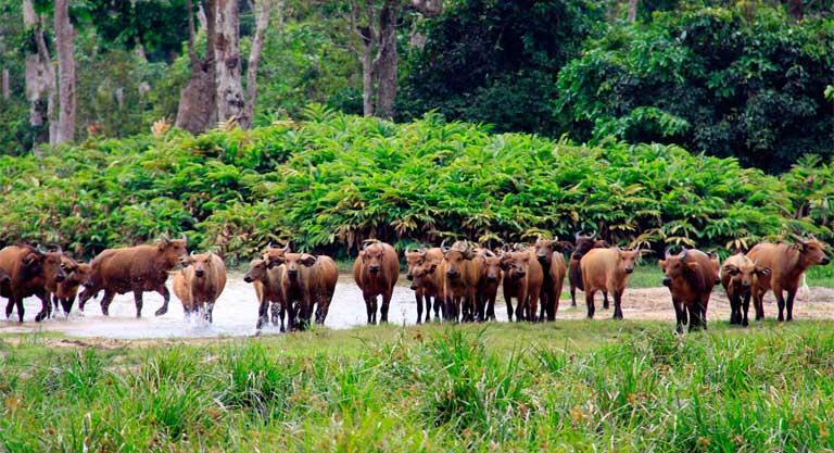 African forest buffalo (Syncerus caffer nanus) in Dzanga Sangha Protected Area, CAR. Photo by Carlos Drews / WWF