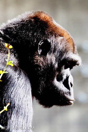 A female lowland gorilla. Photo by Rhett A. Butler