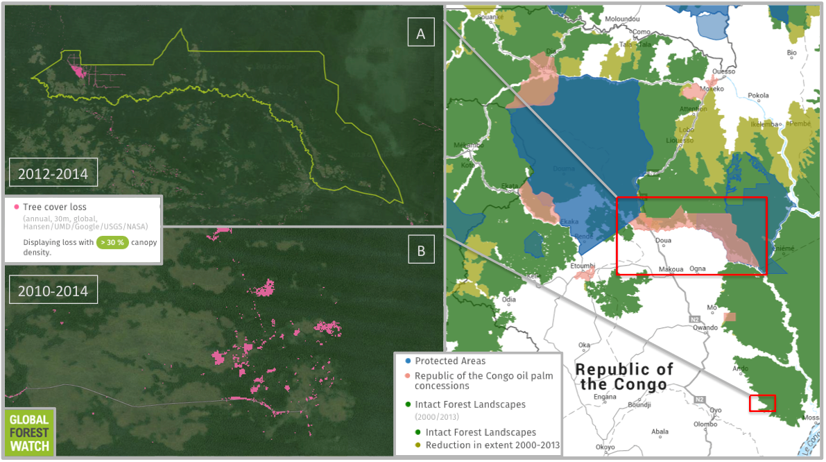 One of the large palm oil concessions owned by Atama (A) is 191,000 hectares (737 square miles) in size and occupies expansive swaths of connected, undisturbed primary forest called Intact Forest Landscapes (IFLs). Data from Global Forest Watch indicate deforestation is ramping up in this concession, which lost around 1,500 hectares (5.8 square miles) of tree cover in 2012, 2013, and 2014. That averages out to 500 hectares (1.9 square miles) per year. The previous 11 years (2001 through 2011) lost a combined 329 hectare (1.27 square mile - or 30 hectares (0.1 square miles) per year. Another Atama concession earmarked for palm oil production previously occupied a region to the south, but the project was subsequently abandoned. However, Global Forest Watch does show tree cover loss has occurred in the area in the last few years (B). In particular, a road and associated deforestation pushed towards an IFL in 2013 and 2014, which is when the area was designated an official concession. Map courtesy of Global Forest Watch