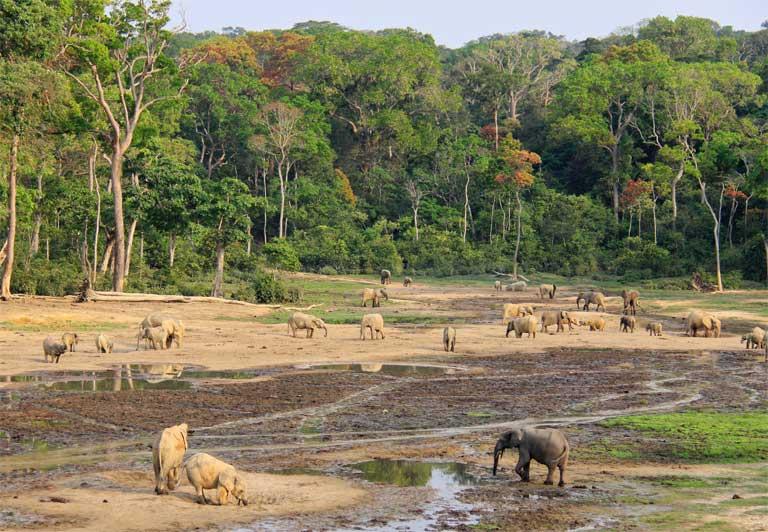 Forest elephants (Loxodonta cyclotis) in Dzanga Bai, a forest clearing in Dzanga Sangha Protected Area, CAR. Photo by Carlos Drews / WWF
