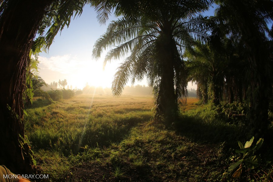 The sun rises behind an oil palm plantation in Indonesia's North Sumatra province. Photo by Rhett A. Butler/Mongabay