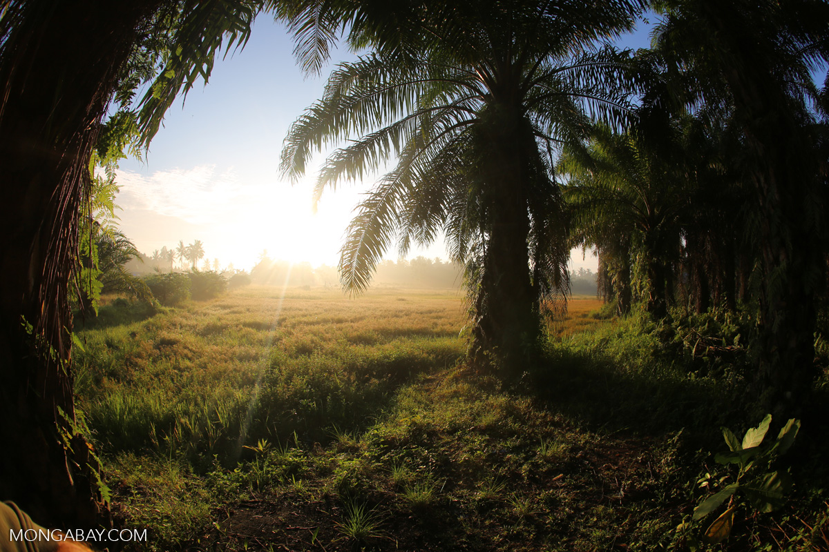 The sun rises behind an oil palm plantation in North Sumatra. Photo by Rhett A. Butler