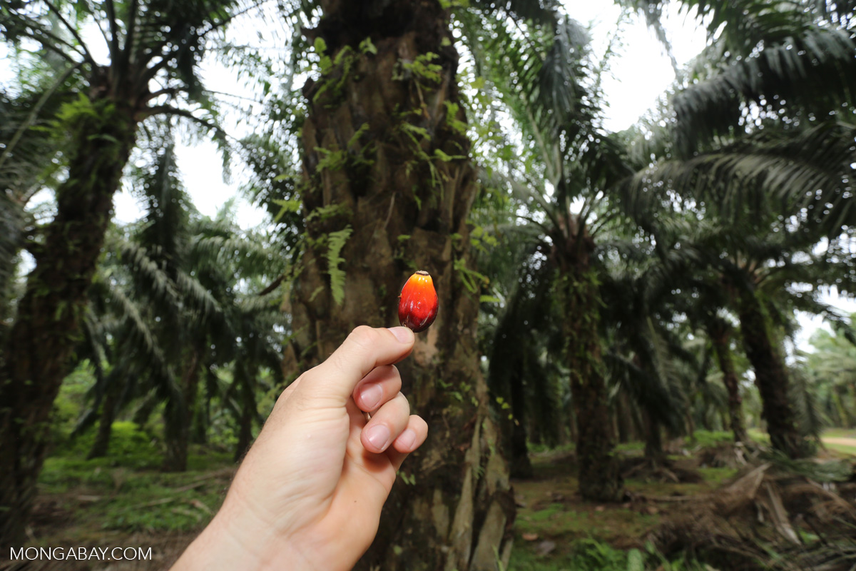Oil palm fruit on a plantation in Aceh, Indonesia. Photo by Rhett A. Butler/Mongabay