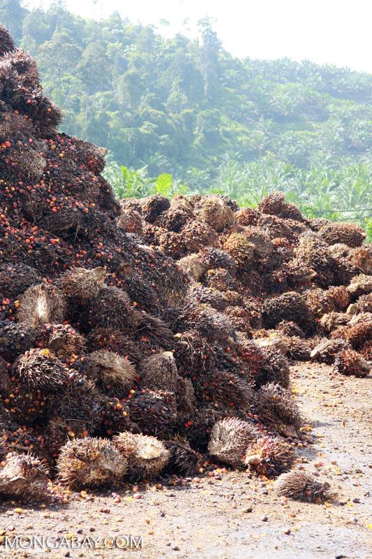 An oil palm fruit in Borneo. Photo by Rhett A. Butler