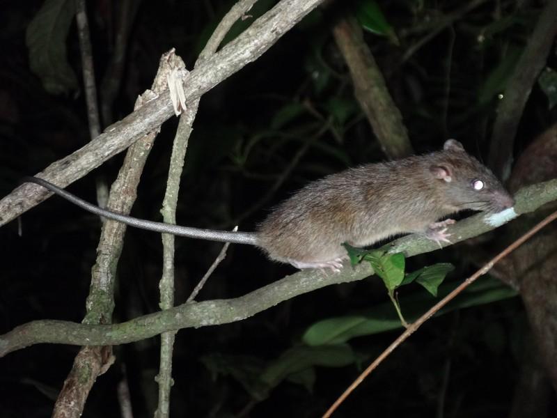 Rats10-Oliver
