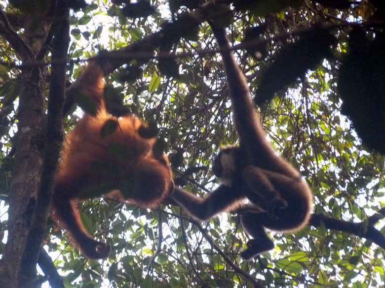 Even though the primates are usually competitors, here we see them playing together in the forest canopy. Photo by Tom Lloyd.
