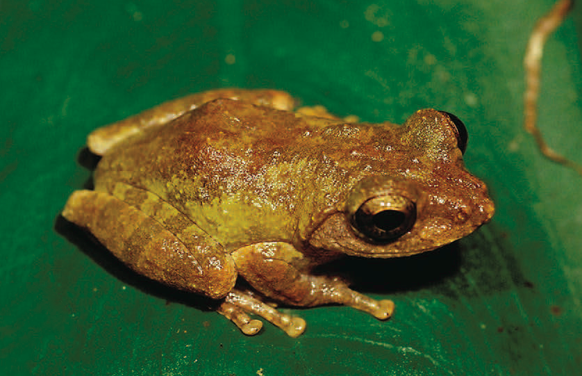 Researchers found the golden-eyed tree frog, Kurixalus wangi, in lower elevations of southern Taiwan. Photo credit: Dr. Shu-Ping Wu