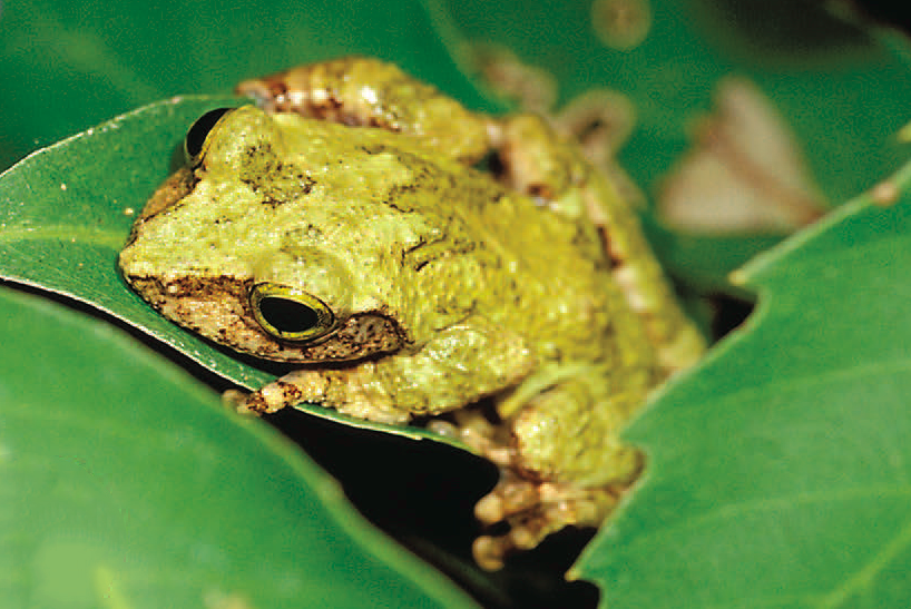 Researchers discovered emerald-eyed tree frog called Kurixalus berylliniris in eastern Taiwan. Photo credit: Dr. Shu-Ping Wu