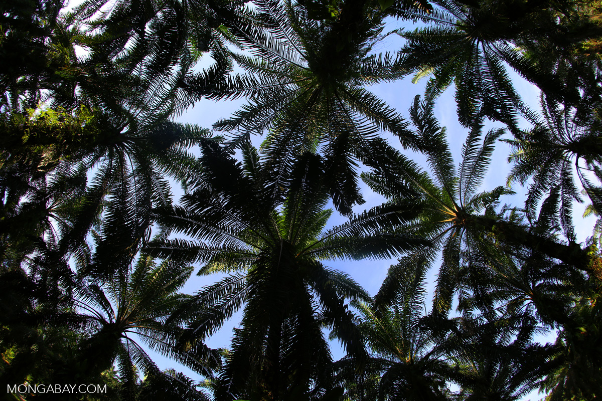 The canopy of an oil palm plantation in Indonesia's Aceh province. Photo by Rhett A. Butler