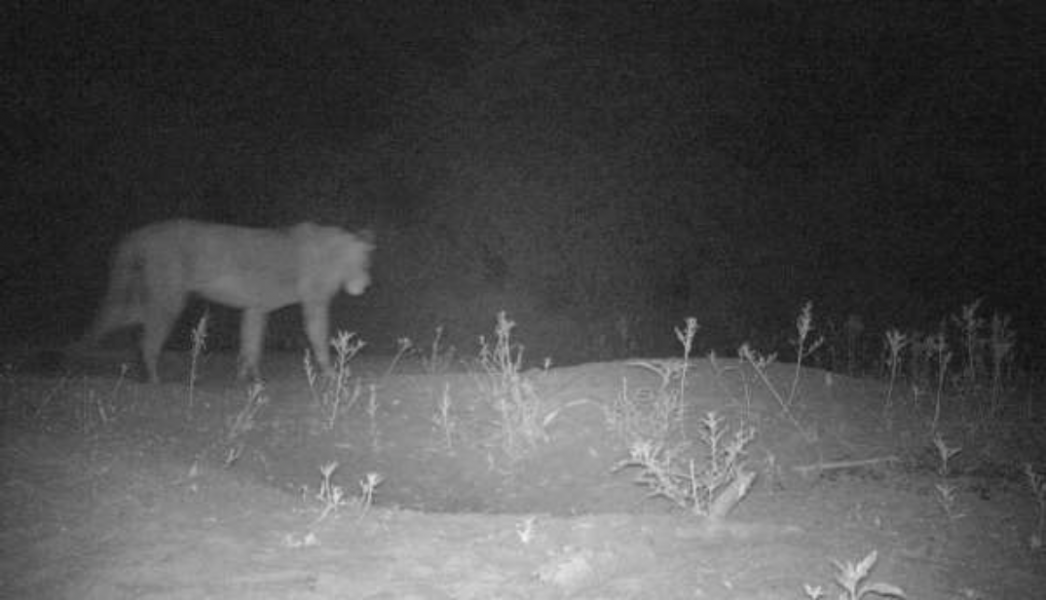 For the first time, conservationists have caught lions on camera in Alatash National Park in Ethiopia. Photo credit: © Wildlife Conservation Research Unit (WildCRU).