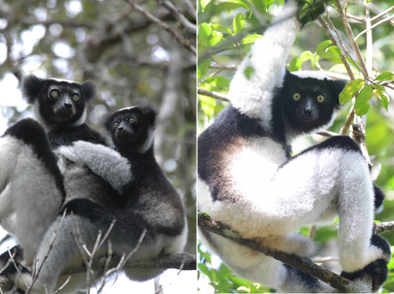 Indri (Indri indri) mother and infant, Andasaibe, Madagascar. Photos by Russ Mittermeier.