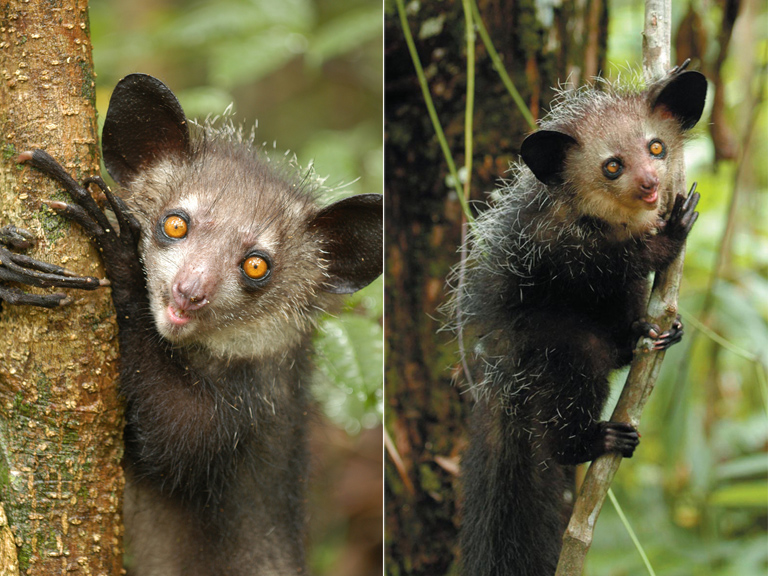 An aye-aye (Daubentonia madagascariensis) from Nosy Mangabe Special Reserve (photo by E. E. Louis Jr.).