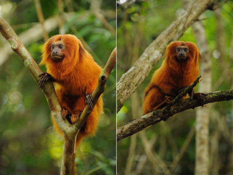 Golden lion tamarin (Leontopithecus rosalia) in the wild, state of Rio de Janeiro. Photos by Russ Mittermeier.