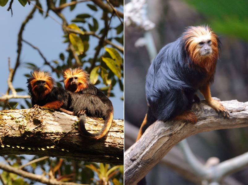 Golden-headed lion tamarins mating. Photos by Russ Mittermeier.