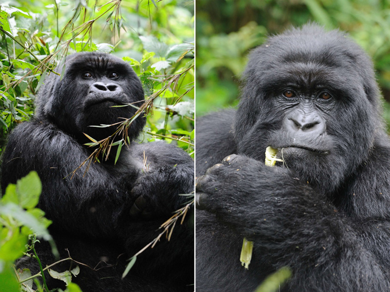 Mountain gorilla (Gorilla beringei beringei) feeding on bamboo. Photos by Russ Mittermeier.