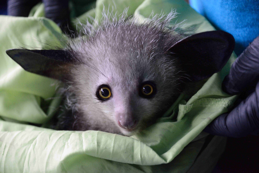 Baby male aye-aye from Kianjavato. Photos by Russ Mittermeier.