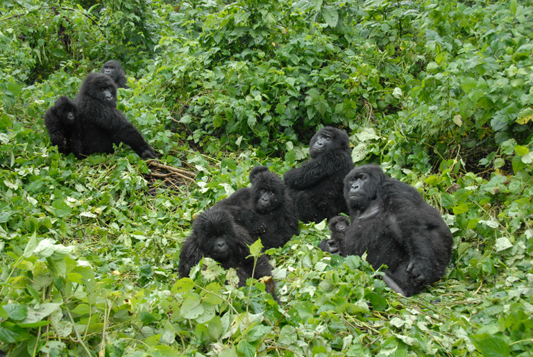 Subgroup of females, juveniles and infants, with silverback and juvenile in background, (Gorilla beringei beringei), Democratic Republic of Congo, Photo by Russ Mittermeier.