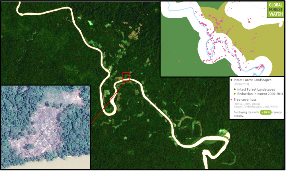Global Forest Watch shows much of the deforestation detected by the MAAP team is happening in large, connected areas of primary forest called Intact Forest Landscapes (IFLs); nearly 30 percent of the 2001-2014 tree cover loss shown in the upper-right inset occurred in IFLs. Satellite imagery captured January 20 shows mosaic deforestation along the Las Piedras River, with earlier imagery (lower-left inset) showing a close-up of one of the patches of felled trees.