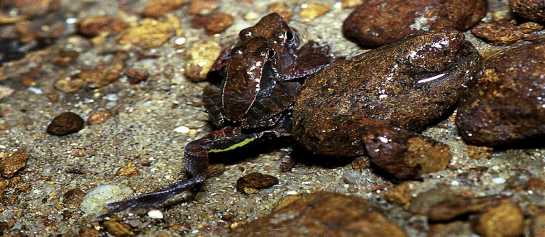 Kallar dancing frogs (Micrixalusi herrei) mating in water, with the female using her legs to dig a tunnel in which to lay eggs. Photo by SD Biju.