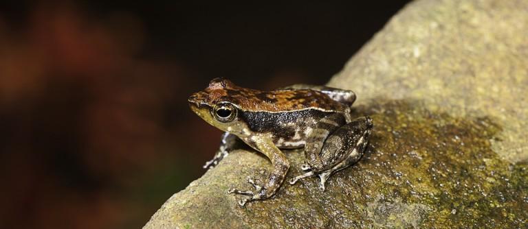A Kallar dancing frog (Micrixalus herrei) sits on a rock. Photo by SD Biju.
