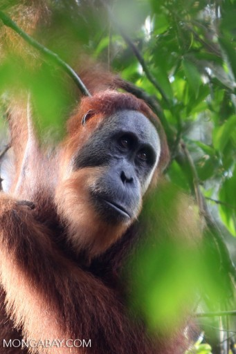 The future of great apes around the world depends on a rapid and effective legal and regulatory response by developing nations and the international community to habitat loss due to large scale agribusiness. Photo by Rhett A. Butler