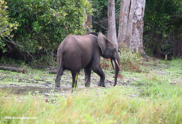 Great apes are not the only animals under threat from the escalating expansion of global agribusiness. Africa's forest elephants and many other types of wildlife require native forest habitat. Photo by Rhett A. Butler