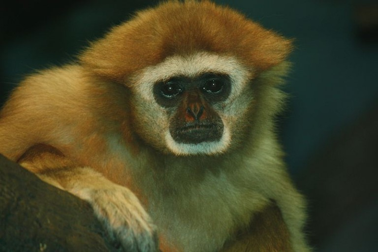 A White-handed Gibbon (Hylobates lar) native to Myanmar, and threatened by inadequate legal protections from escalating agribusiness development. Photo by Ltshears licensed under the Creative Commons Attribution-Share Alike 3.0 Unported license