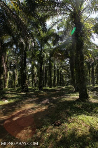 An oil palm estate in Sumatra, Indonesia. The global demand for palm oil has led to a boom in its production, which has now spread from Malaysia and Indonesia in Asia, to Africa with potentially devastating results for great apes and other wildlife. Photo by Rhett A. Butler