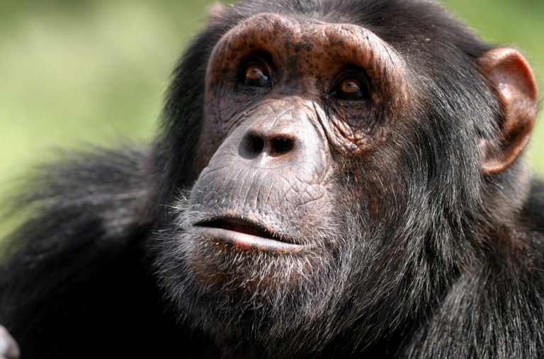 Chimpanzees (Pan troglodytes) are found in both Gabon and Liberia, where oil palm production is making new inroads. Photo © Craig R. Sho