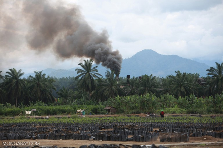 An oil palm nursery and processing facility in Sumatra, Indonesia. Global agribusiness is destroying prime great ape habitat at an alarming rate as the result of consumer demand for palm oil in a wide variety of food, healthcare and other products. Photo by Rhett A. Butler