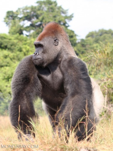 A Lowland Gorilla in Gabon where new oil palm plantation development is just getting seriously underway, but likely to progress at a rapid rate. Photo by Rhett A. Butler