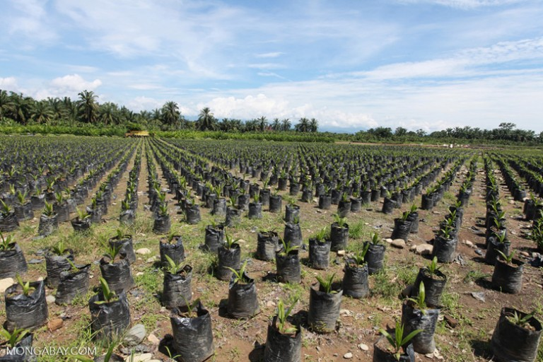 The cutting of forests and their replacement with oil palm seedlings, as seen here in Sumatra, leave no great apes homeless. Strong legal protections and regulatory practices need to be in place to conserve prime great ape habitat, but these are largely lacking in developing nations. Photo by Rhett A. Butler