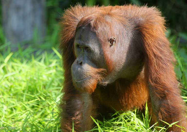 An Orangutan (Pongo abelii). Orangutans in Indonesia and Malaysia have been highly impacted by oil palm production, bringing a strong organized response from international conservation NGOs and local wildlife activists. Photo by Rhett A. Butler