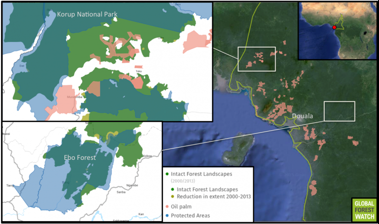 Palm oil plantations sit near Korup National Park. Many of them occupy Intact Forest Landscapes - large areas of particularly pristine primary forest. While Ebo Forest has so far remained away from palm oil development, a plantation has been proposed nearby.