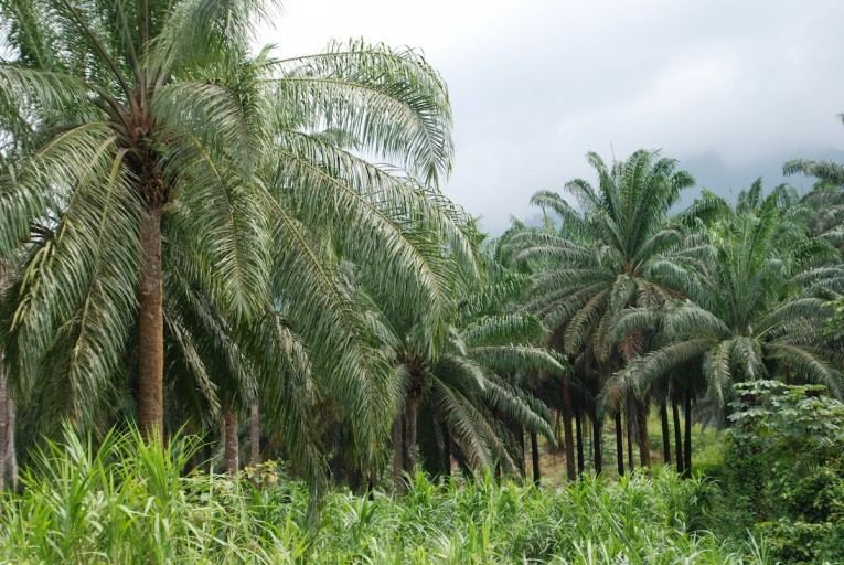 A mature oil palm plantation outside Limbe. Photo by John C. Cannon.