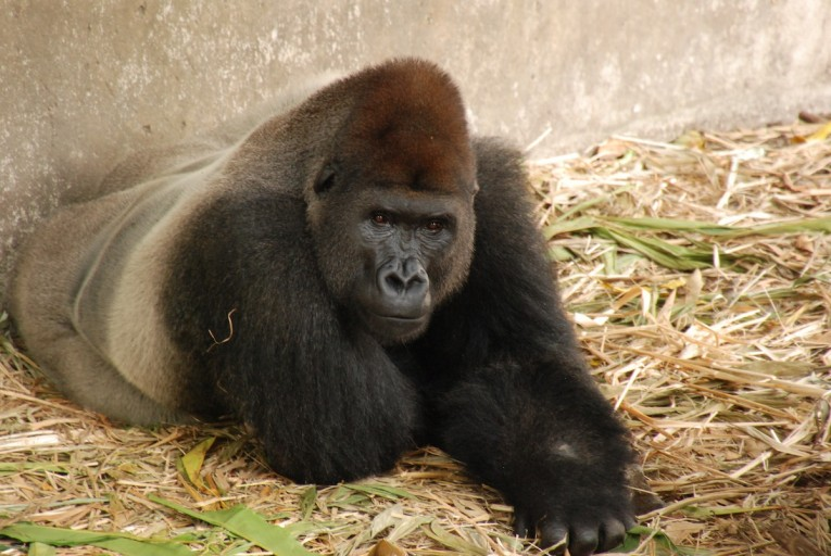 Ebo Forest is home to western gorillas (Gorilla gorilla, shown) and a unique population of gorillas that may be a distinct - and very rare - subspecies. Photo by John C. Cannon. Wildlife Centre in Cameroon by John C. Cannon.