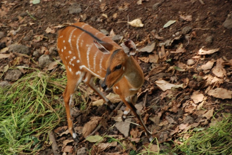 Cameroon's forests are home to many species, such as this bushbuck (Tragelaphus scriptus). Photo taken at Limbe Wildlife Centre by John C. Cannon.