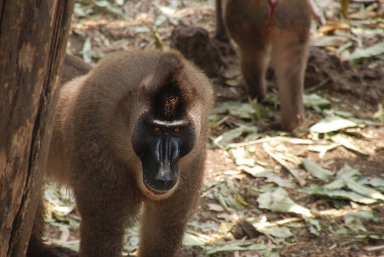 Drills (Mandrillus leucophaeus) are related to baboons and mandrils. They are listed as Endangered by the IUCN. Photo taken at Limbe Wildlife Centre in Cameroon by John C. Cannon.