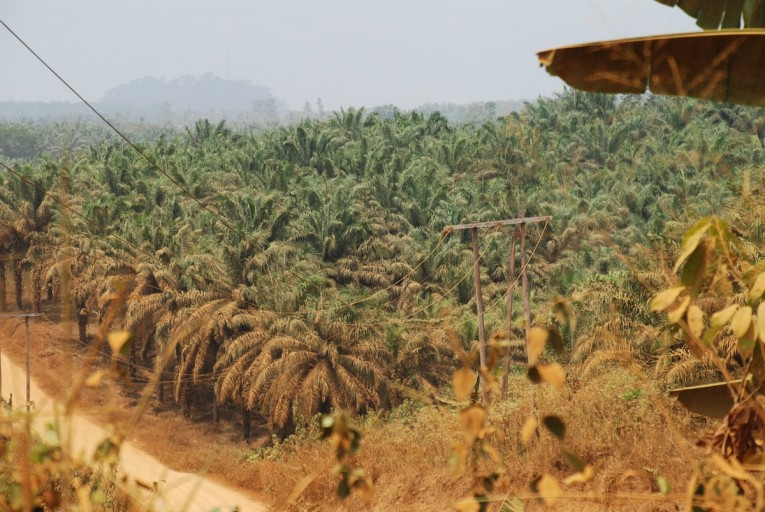 While production has intensified in recent years, palm oil is not new to Cameroon. The oil palm tree actually evolved in western Africa, and even large scale plantations have been around for quite some time. Here, a decades-old plantation operated by the company Palmol sits between the Cameroonian cities of Mundemba and Kumba. Photo by John C. Cannon.