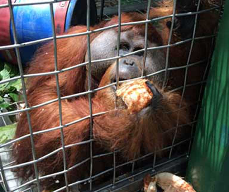 Leuser today, safe in his new enclosure. Photo courtesy of SOCP
