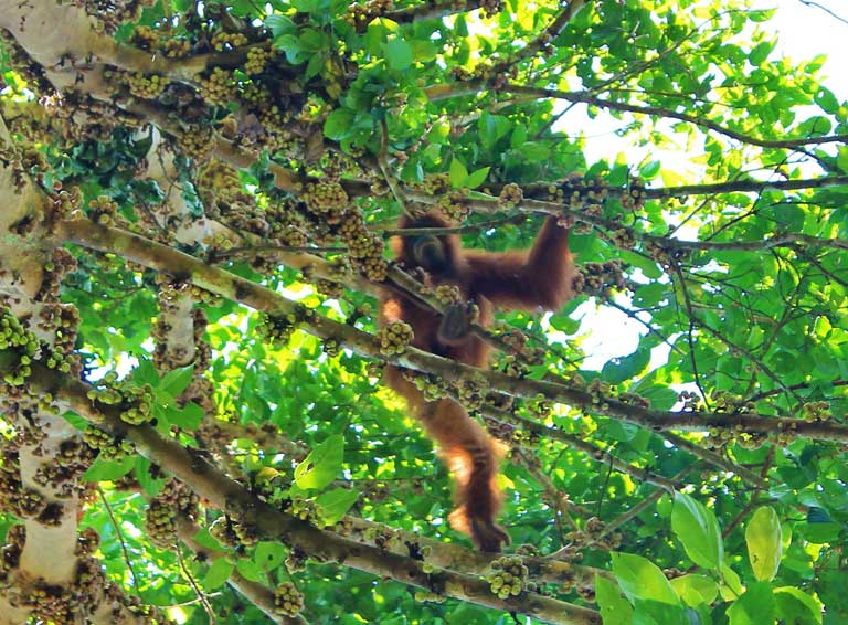 Released orangutans high in the trees at Jantho. Photo courtesy of SOCP