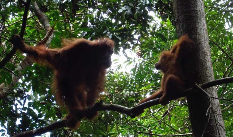 Gober and Ginting, free at last in the Jantho forest. Photo courtesy of SOCP