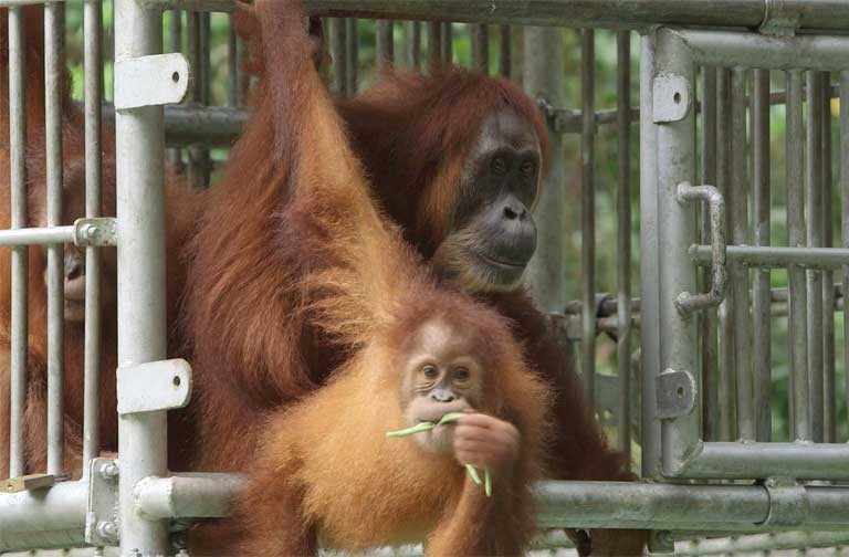 Gober and Ginting leave their release cage. Photo courtesy of SOCP