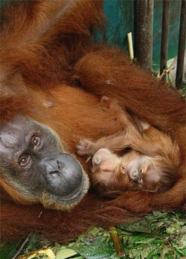 Gober and twins, Ganteng and Ginting. Twins are unusual for orangutans. Photo courtesy of SOCP